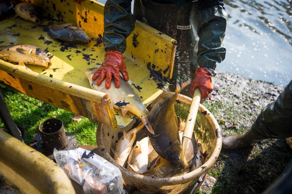 Hände eines Fischers sortieren im September 2014 in Dresden gefangene Karpfen.