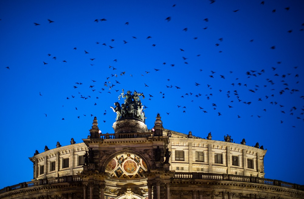 Vögel umfliegen im Februar 2014 in der Abenddmmerung das Dach der Semperoper in Dresden.